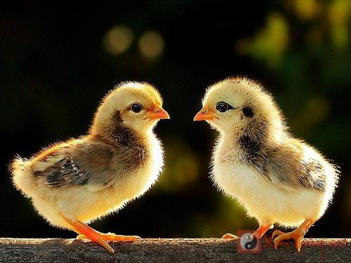 Vui vẻ vì mơ thấy gà - Giải mã giấc mơ thấy gà