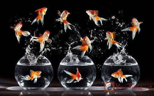 Nắm bắt số lượng cá cảnh cải thiện tài vận gia chủ