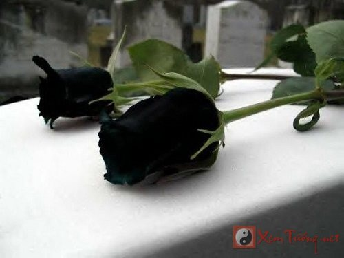 Tang hoa hong ngay Valentine Y nghia mau hoa hong va cach tang hinh anh 3