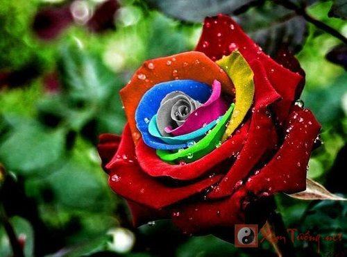 Tang hoa hong ngay Valentine Y nghia mau hoa hong va cach tang hinh anh 4