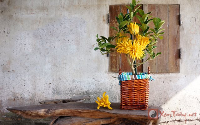 cây Phật Thủ cảnh chơi ngày Tết