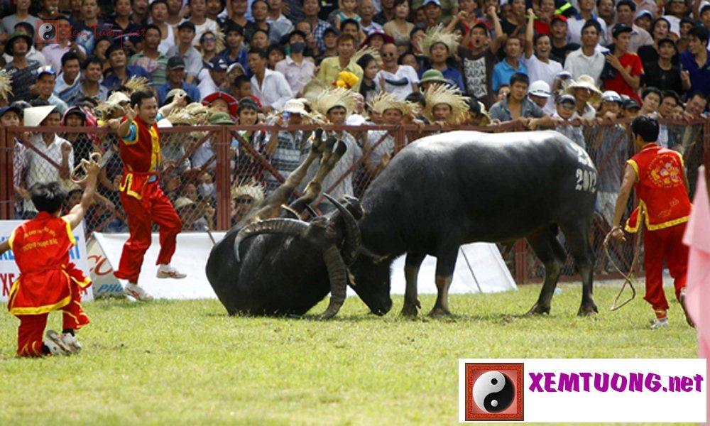 Các lễ hội ngày 9 tháng 8 âm lịch - Hội Chọi Trâu Đồ Sơn